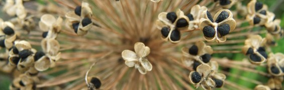 alium seeds