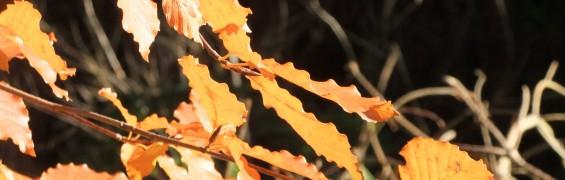 cragside autumn leaves