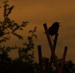 wren singing (2)