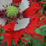 summer frilly poppy with beetly flies