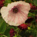 summer poppy crumply