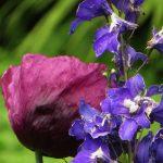 summer poppy delphinium