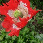 summer poppy seed head