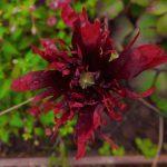 summer raggedy poppy