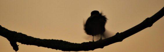 5th April ruffly robin