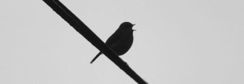 15th Feb robin singing