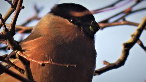 25th-Feb-female-bullfinch-close-up