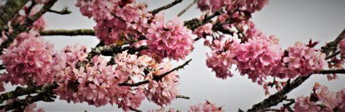 8th April sunrise pink blossom(4)